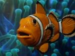 Anemonenfisch_02