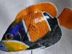 Traumkaiserfisch